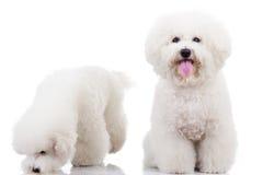 Due cani di cucciolo curiosi del frise del bichon, Fotografie Stock