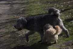 Due cani di gioco immagine stock