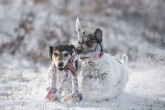 Due cani di Jack Russell Terrier stanno giocando insieme la neve im immagine stock libera da diritti