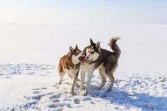 Due cani di slitta stanno giocando sulla baia congelata Fotografia Stock