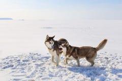 Due cani di slitta stanno giocando sulla baia congelata immagine stock libera da diritti