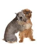Due cani divertenti che giocano abbracciandosi Immagine Stock