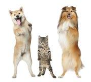 Due cani e basamenti del gatto sui piedini posteriori Fotografia Stock