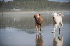 Due cani funzionano sulla spiaggia 2 Fotografie Stock