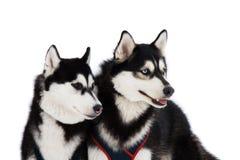 Due cani husky Fotografia Stock