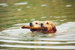Due cani in lago Fotografie Stock