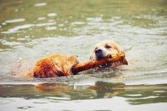 Due cani in lago Fotografia Stock Libera da Diritti