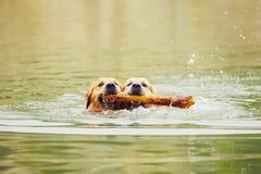 Due cani in lago Fotografie Stock Libere da Diritti