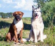 Due cani, malamute d'Alasca e pugile tedesco nella seduta soleggiata di sera della natura Fotografia Stock