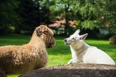 Due cani nel dialogo immagini stock
