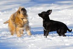 Due cani in neve Fotografia Stock