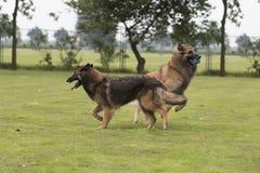 Due cani, pastore belga Tervuren, giocante nell'erba Fotografia Stock