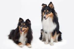 Due cani pastore di Shetland Immagini Stock