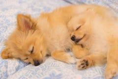 Due cani pomeranian che dormono insieme a letto, fuoco sul cane giusto fotografie stock libere da diritti