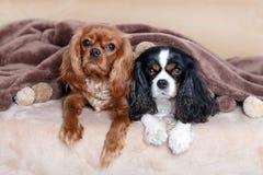 Due cani sotto la coperta immagine stock