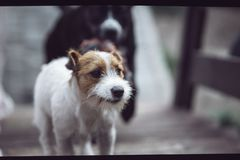 Due cani stanno inseguendo fuori Terrier di Jack russell e amstaff nero immagini stock