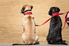 Due cani su un guinzaglio fotografia stock libera da diritti