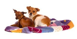 Due cani sulla coperta lavorata a maglia fotografia stock libera da diritti