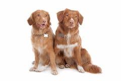 Due cani suonanti del documentalista dell'anatra della Nuova Scozia Immagini Stock
