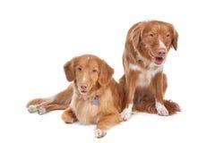 Due cani suonanti del documentalista dell'anatra della Nuova Scozia Immagini Stock Libere da Diritti