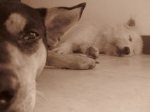 Due cani uno che dormono Fotografia Stock Libera da Diritti