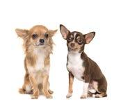 Due cani uno lungamente ed uno della chihuahua dai capelli corti Fotografia Stock
