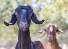 Due capre Immagine Stock