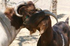 Due capre amichevoli Fotografie Stock Libere da Diritti