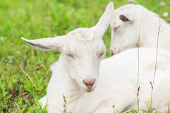 Due capre bianche in un recinto per bestiame addormentato sull'erba Immagine Stock Libera da Diritti