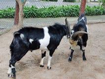 Combattimento delle capre immagini stock libere da diritti