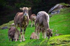 Due capre che mangiano erba e che fissano alla macchina fotografica Fotografia Stock Libera da Diritti