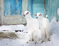 Due capre del bambino nell'azienda agricola Fotografia Stock