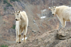 Due capre di montagna Fotografia Stock Libera da Diritti