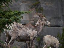 Due capre di montagna immagini stock