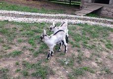 Due capre gemellate del bambino Fotografia Stock
