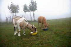 Due capre lattee che mangiano foraggio Fotografie Stock Libere da Diritti