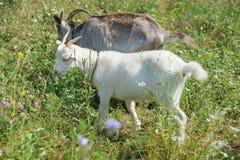 Due capre sono sul prato dell'estate Immagini Stock Libere da Diritti