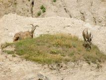 Due capre su una toppa di erba fotografie stock libere da diritti