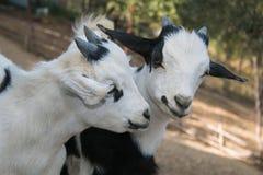 Due capre tibetane nane del bambino Immagini Stock