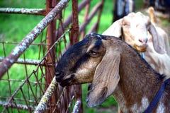 Due capre vicino ad un portone fotografia stock