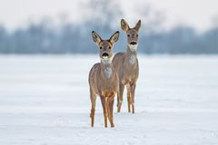 Due caprioli nell'inverno Fotografie Stock