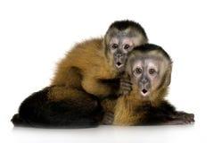 Due Capuchins del bambino - sapajou a Fotografie Stock