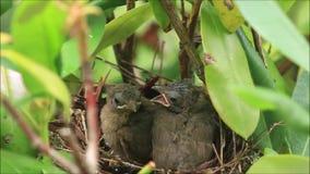 Due cardinali del bambino nel nido stock footage