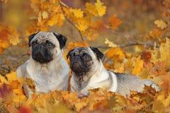 Due carlini beige che si trovano in foglie di autunno variopinte Fotografie Stock Libere da Diritti