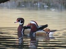 Due Carolina Wood Ducks Fotografia Stock Libera da Diritti