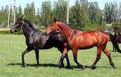 Due cavalli fotografie stock