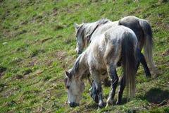 Due cavalli Immagine Stock