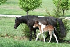 Due cavalli Fotografie Stock Libere da Diritti