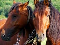 Due cavalli Immagini Stock Libere da Diritti