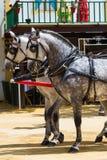 Due cavalli bianchi con le toppe nere Fotografia Stock